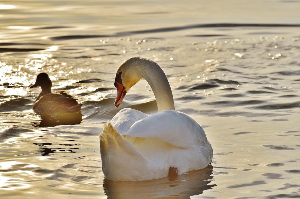白鳥, アヒル, 水, コンスタンス湖, 動物の世界, 湖, 鳥, ぼかし, 水鳥, 羽