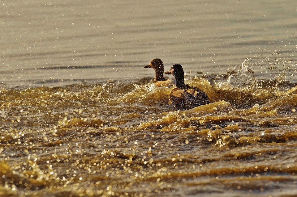 ducks-1114846_960_720.jpg
