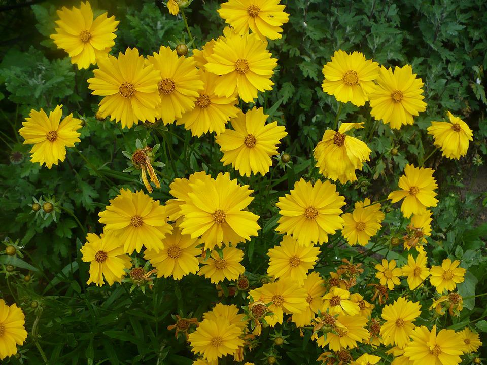 Cosmos plant yellow flowers free photo on pixabay cosmos plant yellow flowers beautiful spring flowers mightylinksfo