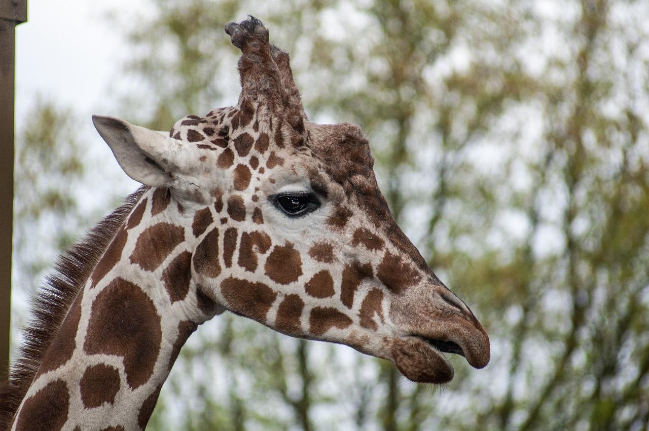 Картинка жирафы головой вниз и вверх
