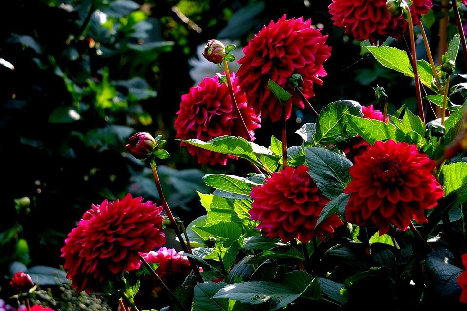 Foto gratis dalias flores verano imagen gratis en - Flores de verano ...