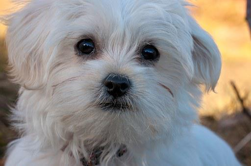 Dog, Puppy, Young Dog, Maltese, White