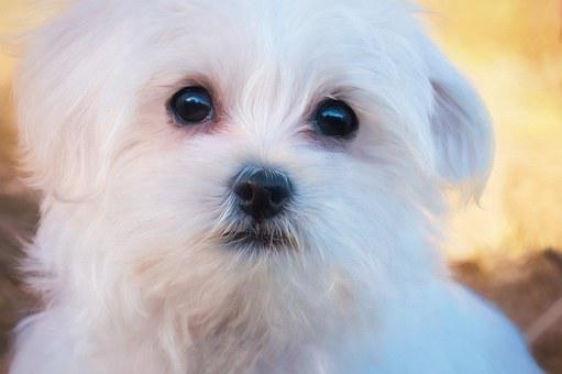 Painting, Dog, Puppy, White, Maltese