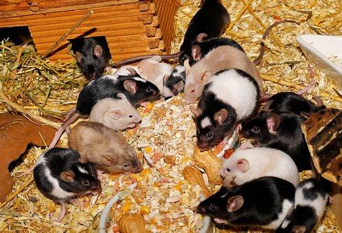 Mice, Farbmäuse, Cute, Sweet, Tame