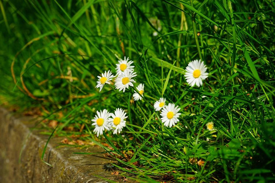 free photo daisy, flowers, white, spring  free image on pixabay, Beautiful flower