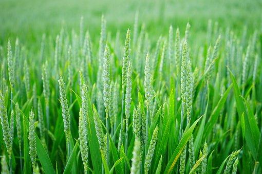 Wheat, Wheat Spike, Wheat Field