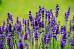 lawenda, kwiaty, purpurowy