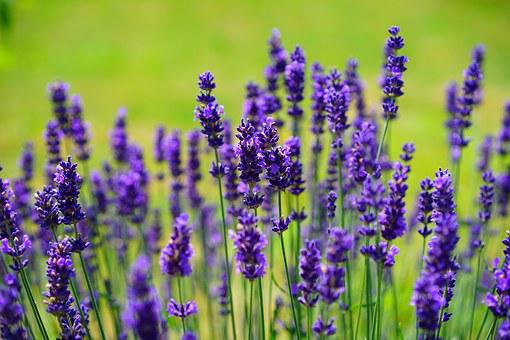 Lavender, Flowers, Purple, Wild Plant