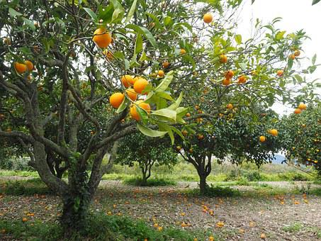 Orange Tree Orange Grove Plantation Orchar