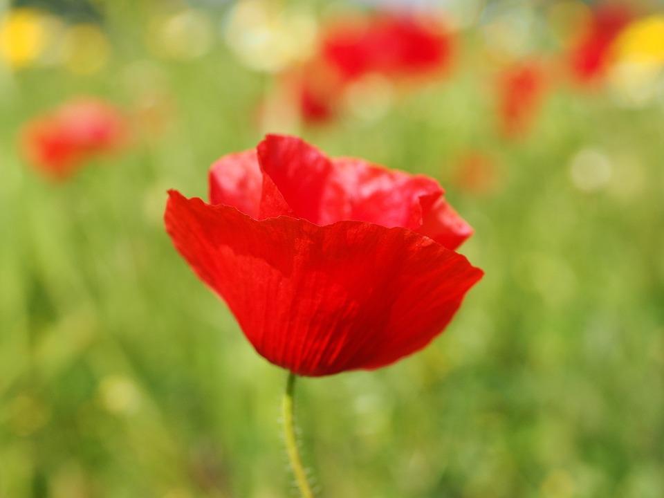 poppy, flower  free images on pixabay, Natural flower
