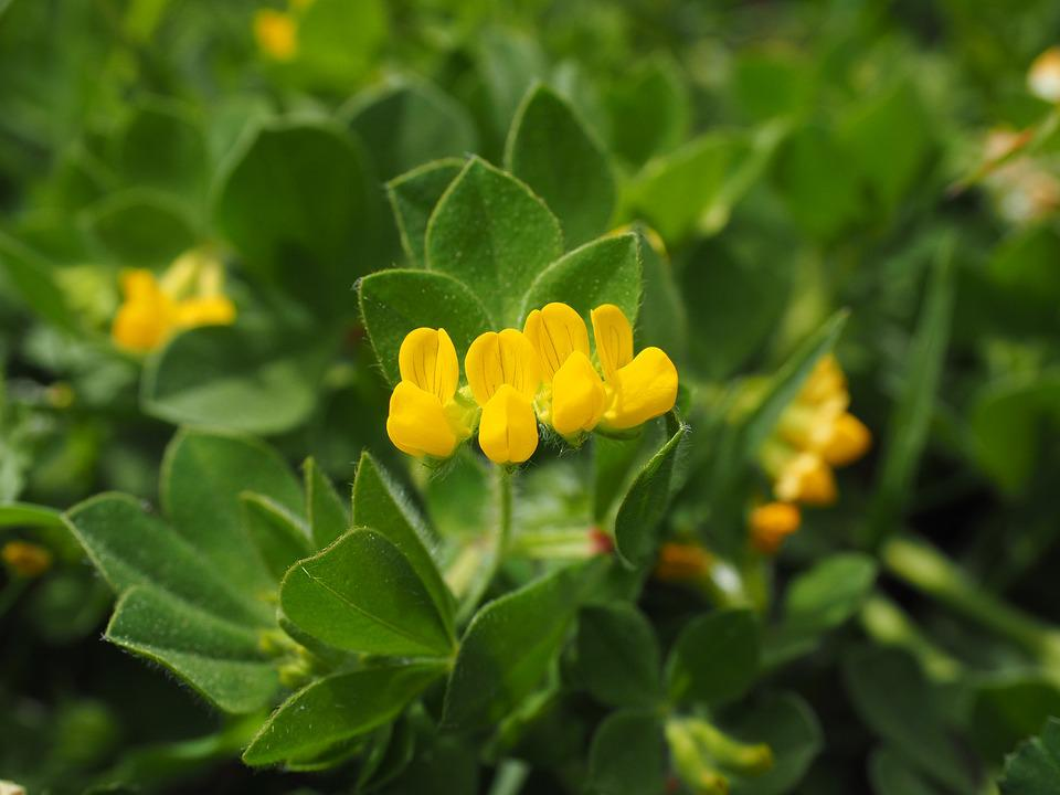 Silver clover blossom bloom free photo on pixabay silver clover blossom bloom plant yellow flower mightylinksfo Choice Image