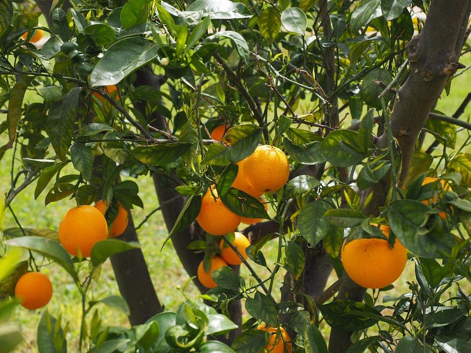 Oranges, Fruits, Oranger, Agrumes, Arbre, Feuilles