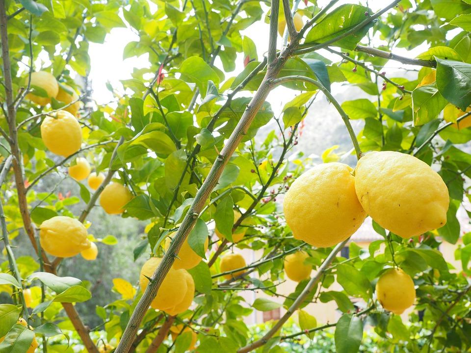 Limone, Albero Di Limone, Citrus Limon ×, Agrumi