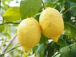 lemon, lemon tree