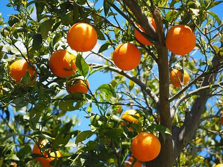 Oranges, Fruits, Orange Tree