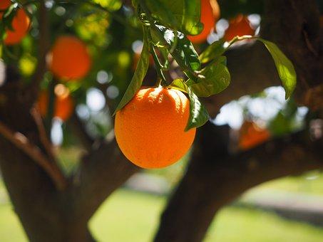Naranjos en la ciudad Sevilla