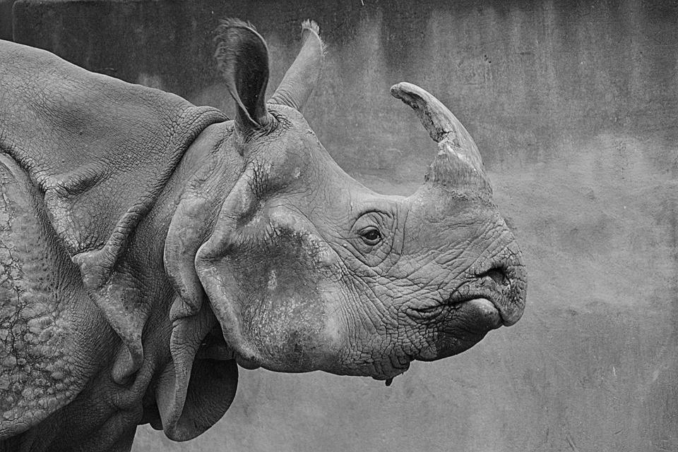 Rinoceronte, Animal, Mamíferos, Cuerno