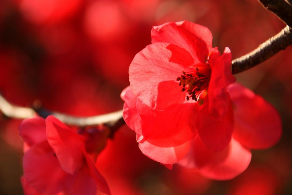 Japanese Flowering Crabapple - Free photo on Pixabay
