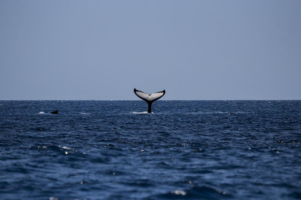 Baleine, Rorqual À Bosse, Baleine À Bosse, Océan