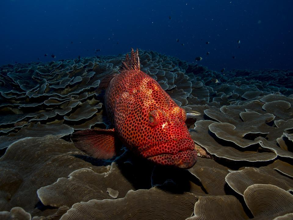 Free photo: Fish, Grouper, Red, Sea, Water - Free Image on Pixabay - 1118892