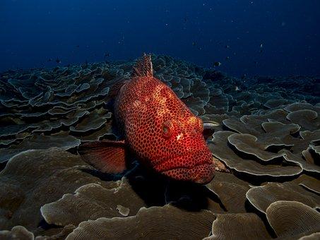 Fisch Zackenbarsch Rot Meer Wasser Tier Oz