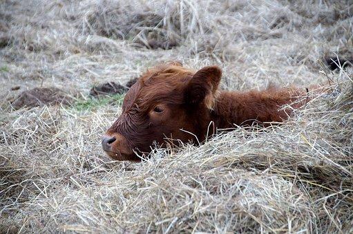 Cow, Calf, Rest, Cub, Brown, Animal
