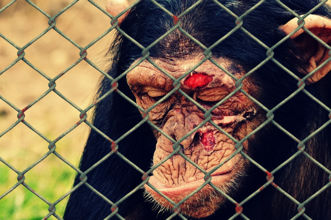 Monkeys and Other Primates  Animal Exploitation Photo