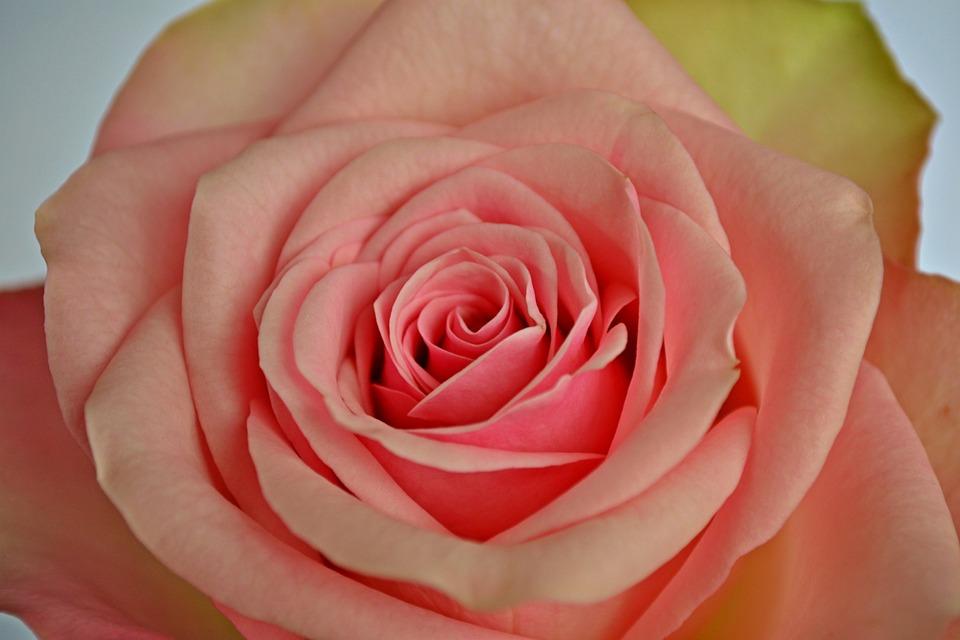 Conosciuto Foto gratis: Fiori, Rose, Rose Rosa, Fiore Rosa - Immagine gratis  BZ29