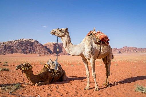 Deve, Wadi Rum, Çöl, Seyahat, Ürdün, Kum