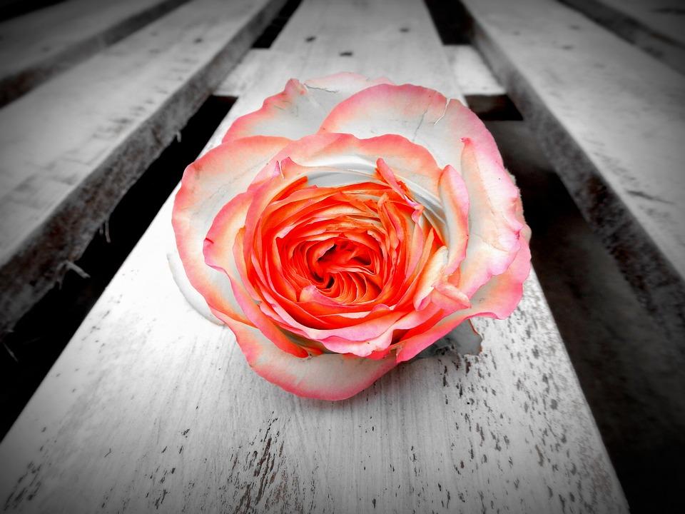 Rose Blume Blüte Kostenloses Foto Auf Pixabay