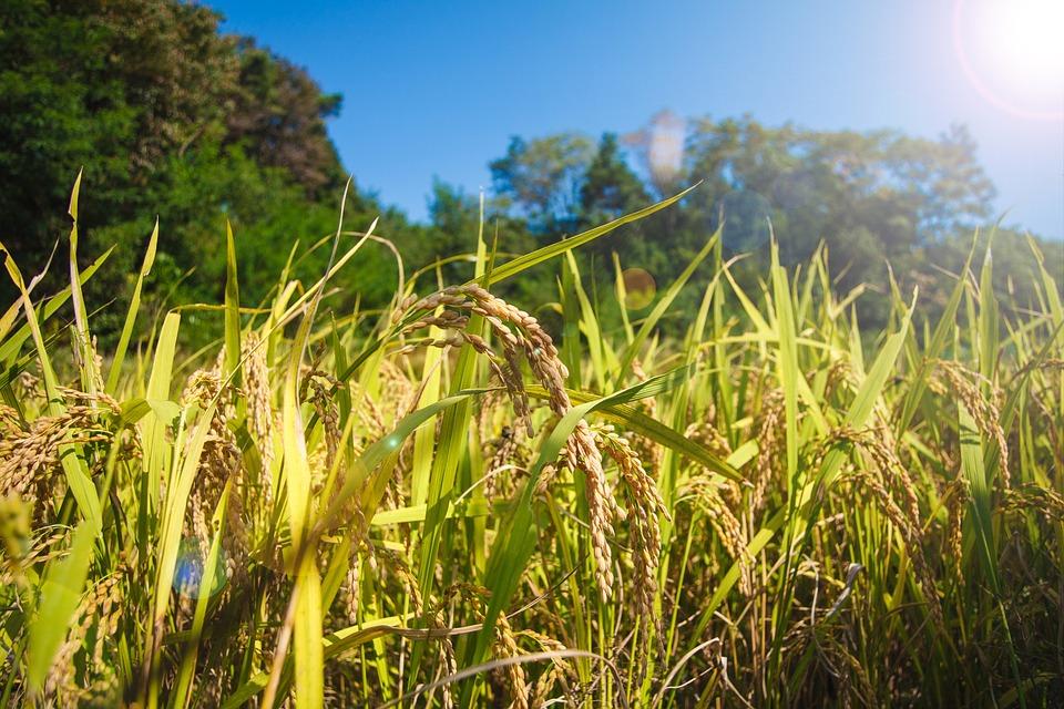 쌀 농사 곡물 · Pixabay의 무료 사진