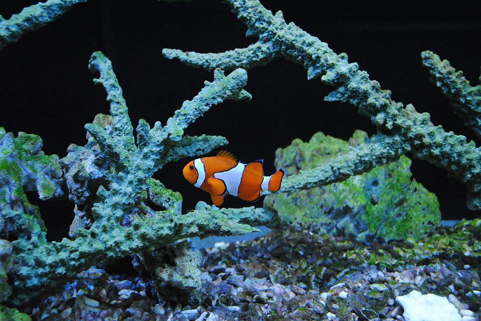 Free photo: Nemo, Clown, Sea Fish, Orange - Free Image on Pixabay ...