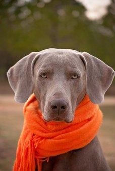 Dog Weimaraner Scarf Pet Canine Purebred D