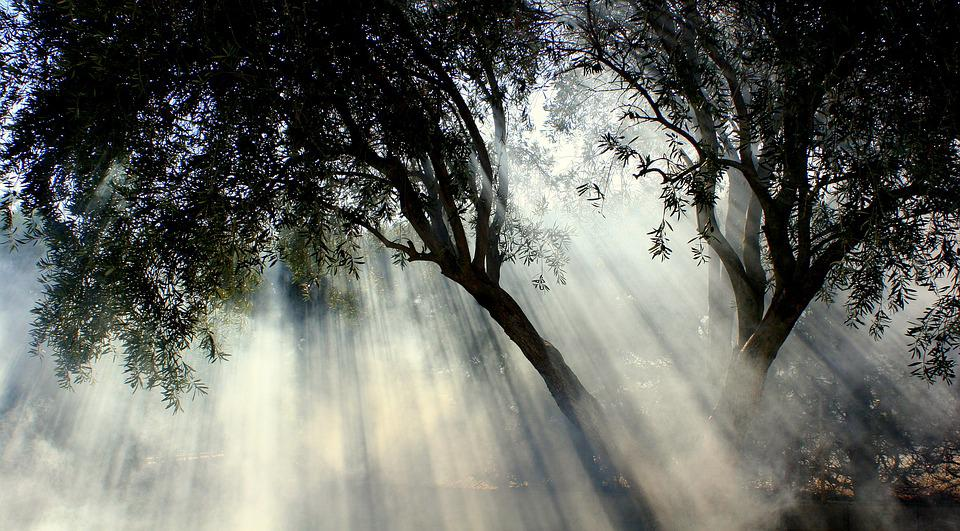 Foggy, Olive Tree, Sun, Sun Stripes, Nature, Landscape