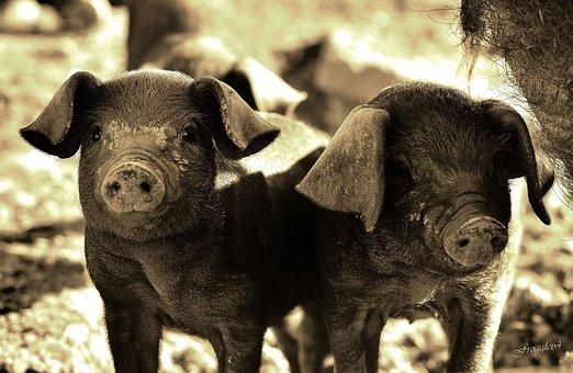 Pig, Animals, Basque Country, Pig, Pig