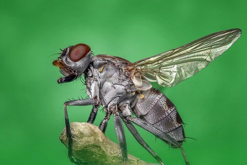 Housefly Fly Macro Insect Nature Pest Bug