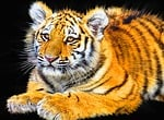 tiger, cub, animal