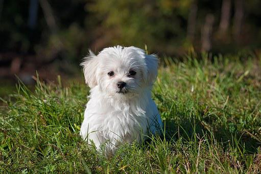 Maltese Puppies For Sale in Montana