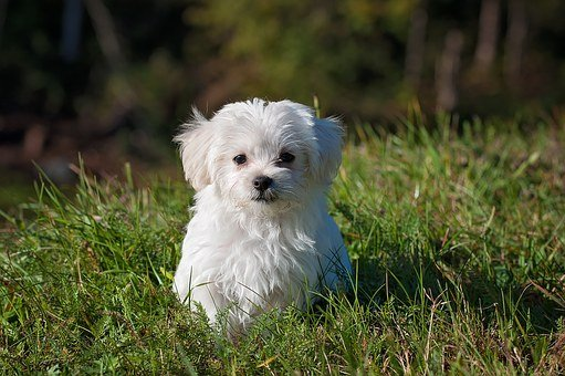 Dog, Young Dog, Small Dog, Maltese
