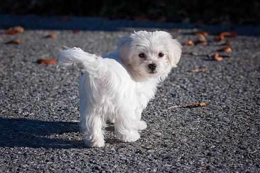 Dog, Maltese, White, Young Dog, Puppy