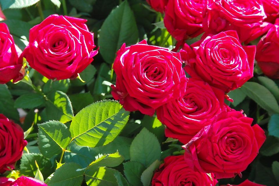 Roses Garden Rosebush Bloom Summer Rose Flower