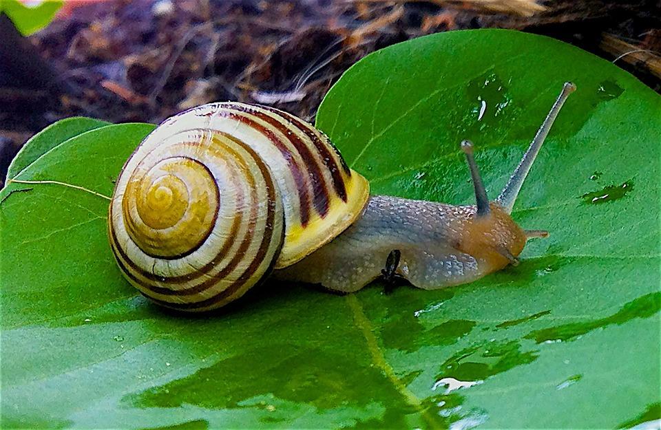 Free Photo Garden Snail Snail Free Image On Pixabay