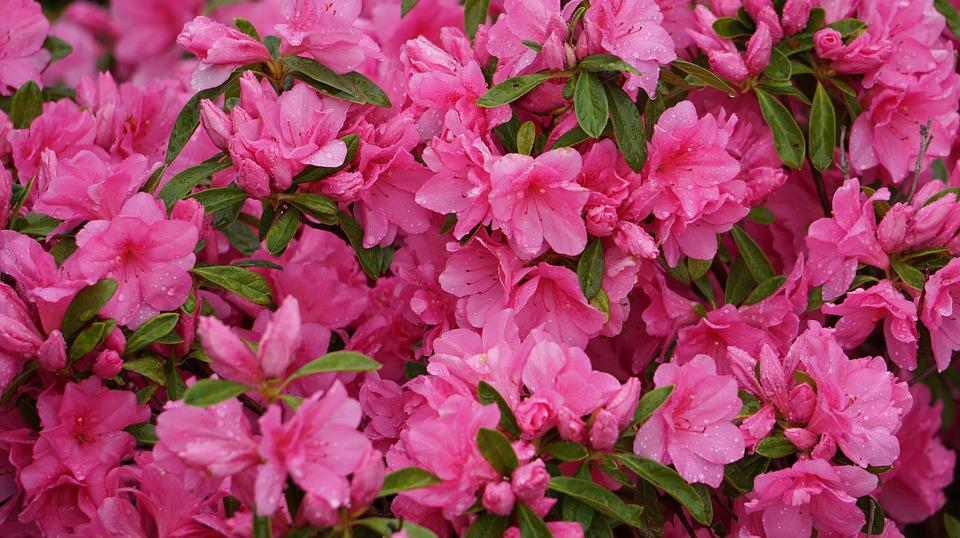 Free Photo A Thousand Roses Flowers Pink Free Image