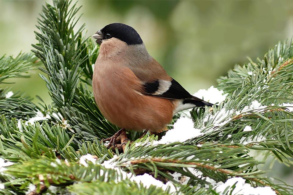 Gil Zwyczajny Ptak Samica Darmowe Zdjęcie Na Pixabay