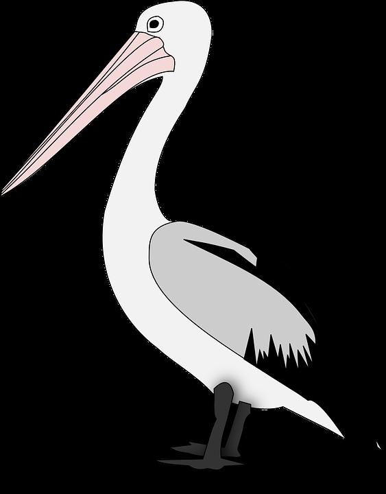 Pel cano ave gr ficos vectoriales gratis en pixabay - Fotos de pelicanos ...