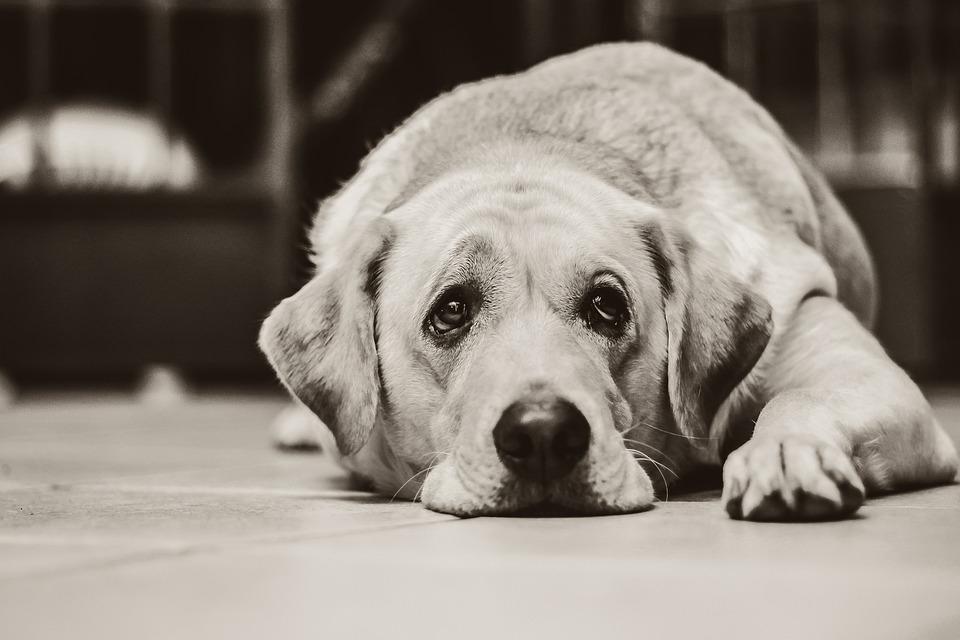 Dog Labrador Black And White · Free Photo On Pixabay