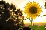 sunflower, sun, summer