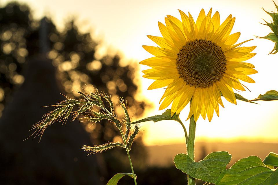 Sunflower, Summer, Yellow, Nature, Flower, Sunlight