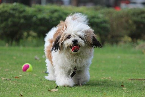 Noddy, Lhasa Apso, Coco, Pet, Cute Puppy