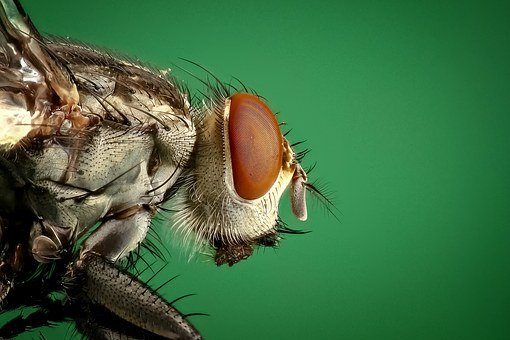 Housefly, Fly, Insect, Macro, Pest